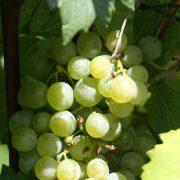 Grüner veltliner druif
