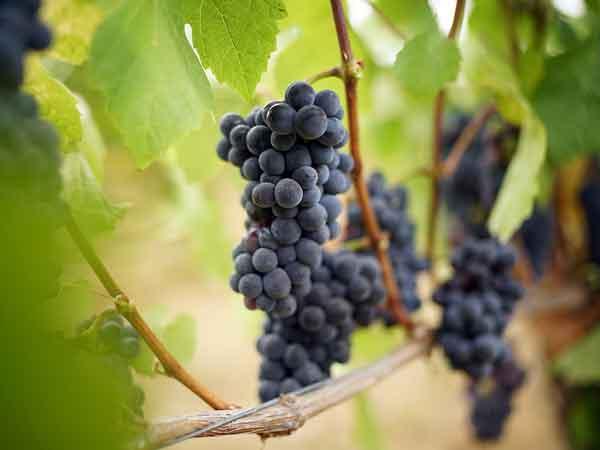 Rode wijn: de Pinot Noir