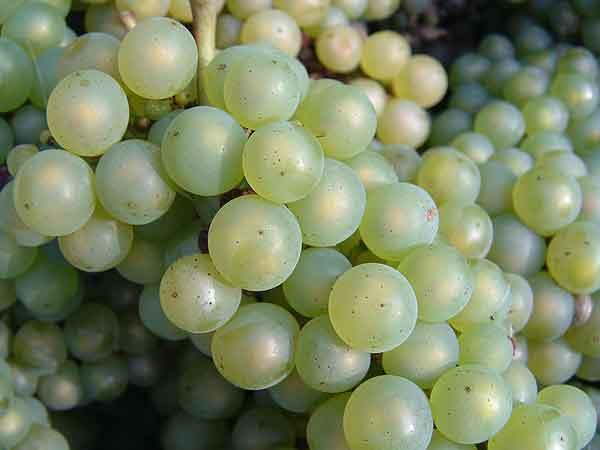 Witte wijn en druiven