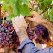 Lagere prijzen voor Spaanse en Italiaanse wijnen door grote oogst